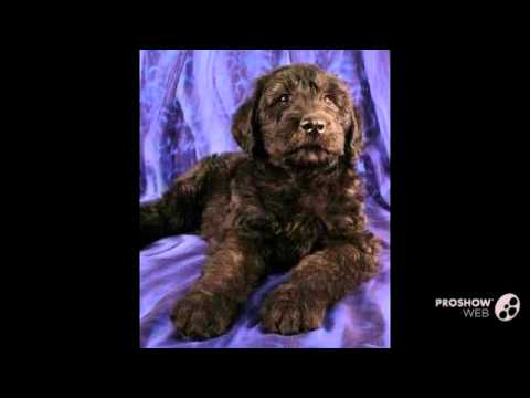 Giant Schnoodle Dog breed