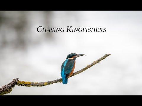 Chasing Kingfishers