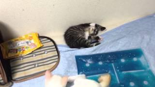 保護子猫三兄弟のうち、最後の栗介も旅だちの日を迎えました。 ブログ h...