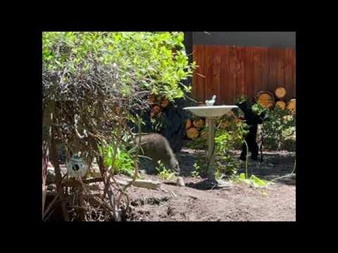 Bear Cubs Visit Backyard to Drink From Bird Bath || ViralHog