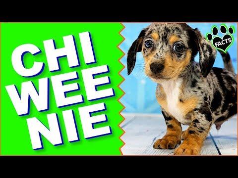 Chiweenie Dogs 101 - Mexican Hotdog