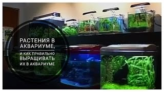 Растения в аквариуме, и как правильно выращивать их в аквариуме.