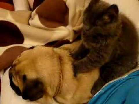 Cat Massages Snoring Pug (VIDEO)