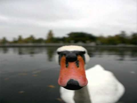 Joe Stump   Attack of the killer Swans