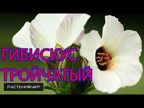 Гибискус или китайская роза / Гибискус тройчатый / садовые цветы