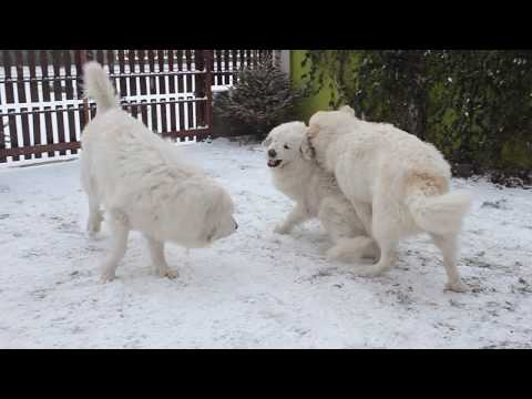 RODENTÁLI - pyrenean mountain dog- kennel. Dogs game in the snow.