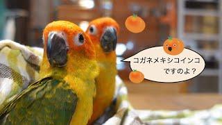 【えとぴりか東京】コガネメキシコインコ