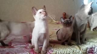 Tonkinese kittens,тонкинские котята