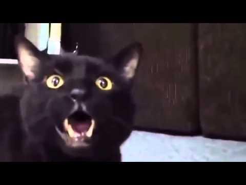 Смотреть поющий кот приколы