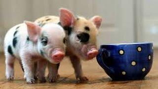 МИНИ ПИГИ, мини свинки.  НЕРЕАЛЬНО СМЕШНО!! Смешное видео. приколы с животными.