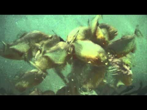 Piranha Feeding Frenzy