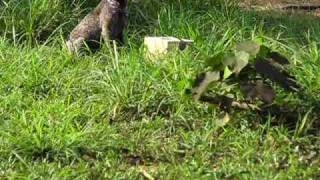 Bear Scat Detector Dog Training