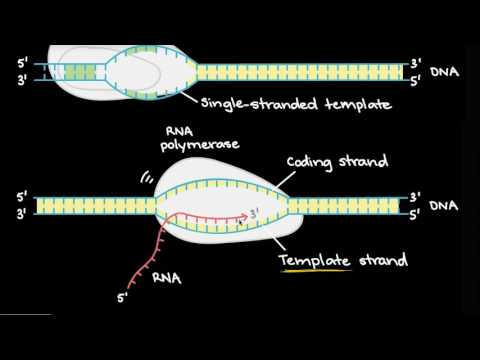 Transcription and mRNA processing | Biomolecules | MCAT | Khan Academy