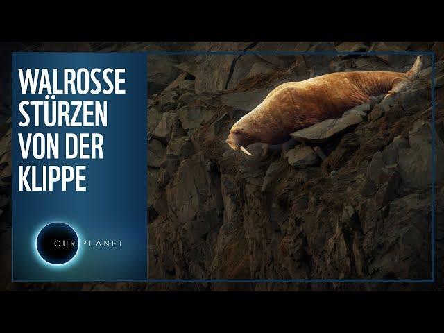 Warum stürzen Walrosse von der Klippe?   WWF Unser Planet