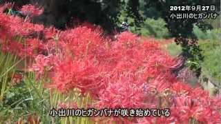 """のどかな田園風景に""""赤い帯""""-。 藤沢市と茅ケ崎市、寒川町を流れる小出..."""