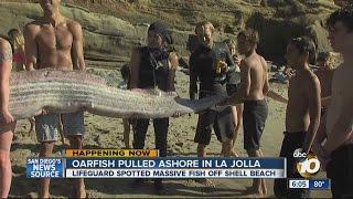 Oarfish pulled ashore in La Jolla