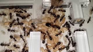 Camponotus barbaricus III