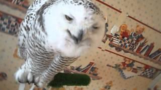 Полярная сова хочет кушать!