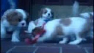 Cavalier King Charles Spaniel Puppy!