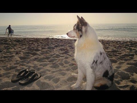 AUSTRALIAN SHEPHERD | Beach Day