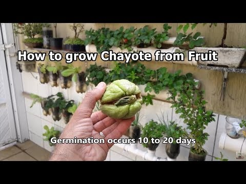 How to grow Chayote from Fruit step by step