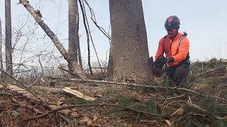 EPIC- Husqvarna 550xp Mark ll felling big timber! thumbnail