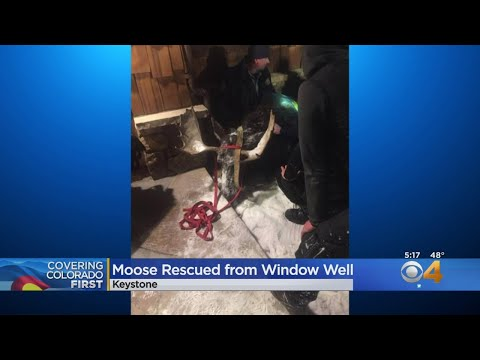 None - Moose falls into to family's window well in Keystone