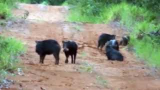 Queixada, Porco-do-mato, Atravessando a estrada, Tayassu pecari,