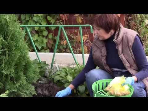 Посадка попугайных тюльпанов и белоцветника