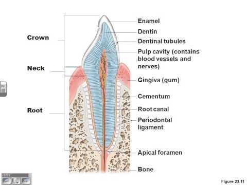 Digestive system lecture part 1 Dr. Parker's A&P II