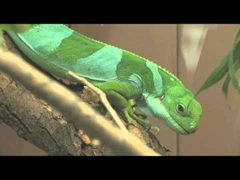 Denver Zoo welcomes a Fiji banded iguana