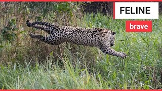 The incredible moment a jaguar and a caiman battle | SWNS TV