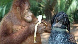 Обезьяны раздражают кошек и собак * Monkeys irritere katter og hunder
