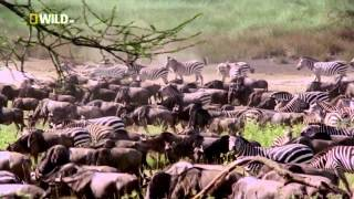 National Geographic Дикий лев Ganglands / National Geographic Wild Lion Ganglands / Видео