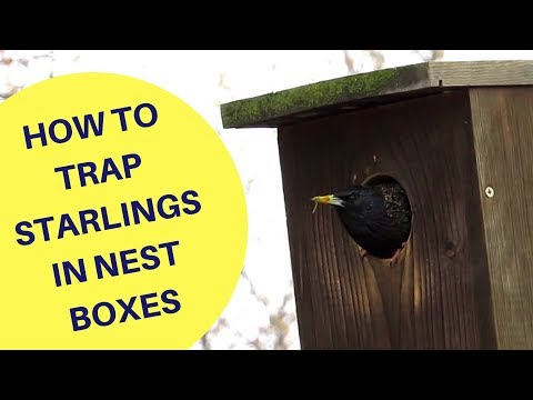 How to Trap Starlings in a Nest Box 2018