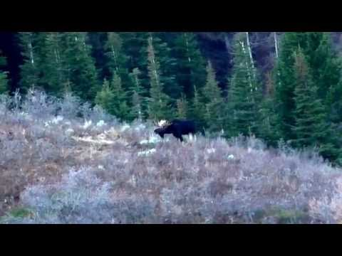 Nice Wasatch Front Bull Moose
