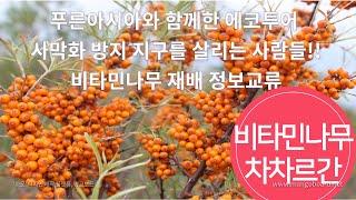 비타민나무재배 정보 교류   몽골 바양노르 비타민나무 …