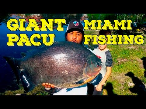 Fishing Giant Monster Pacu in Miami