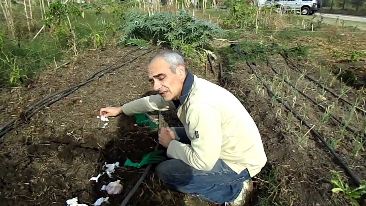 Como sembrar ajos Huerto ecolgico Como plantarsembrarcultivar