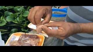 Aliméntar bettas con hígado
