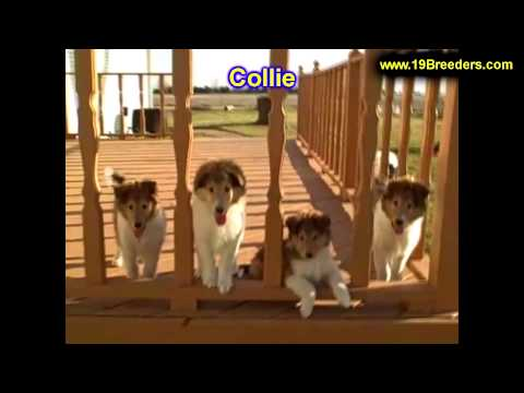 Collie, Puppies, For, Sale, In, Philadelphia, Pennsylvania, PA, Borough, State, Erie, York