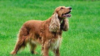 Порода собак Английский кокер-спаниель