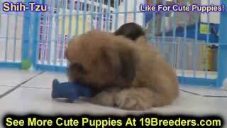 Shih Tzu, Puppies, For, Sale, In, Weirton, West Virginia, Wv, Kanawha, Monongalia, Cabell, Wood, Ral