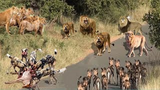 LIVE: Lion vs Wild Dogs vs Hyena Survival Battle - Leopard vs Warthog - Wild Animals 2018