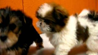 Yorkie And Shih Tzu Puppies Playing 19breeders