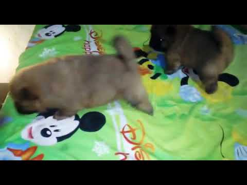 Chow Chow male and female puppies for sale in Delhi Dwarka Pet Shop dog kennel wholesale price