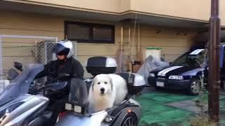 デッカ〜!!大きいワンちゃんがサイドカーに乗ってご来店。かわいい(*゚...