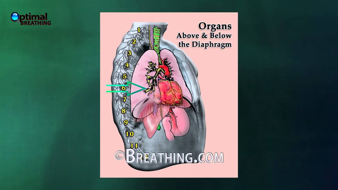 Function And Importance Of The Diaphragm Youtube