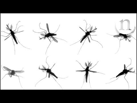 una explicacion al molesto vuelo de los mosquitos