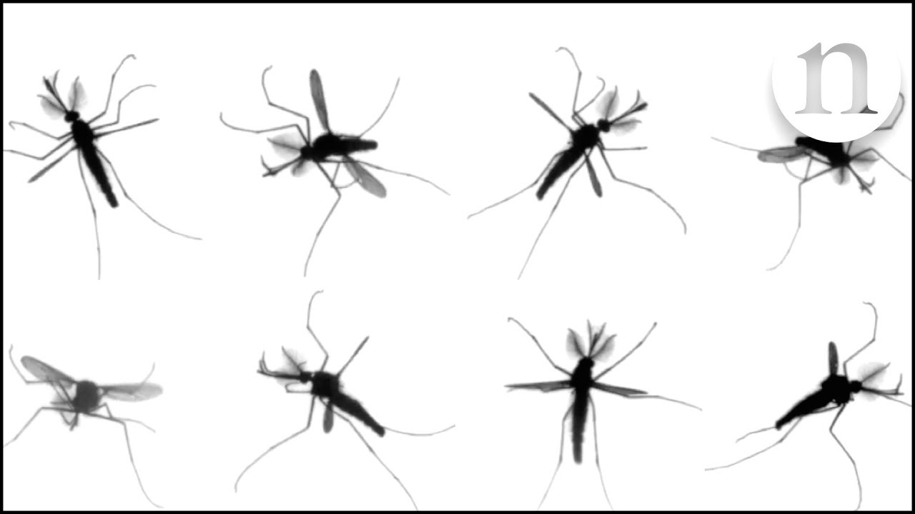 como consiguen volar los mosquitos